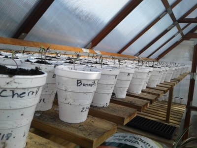 tomato-plants-potted-in-greenhouse