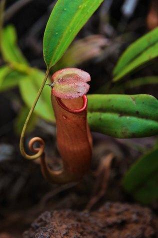 Nepenthes vieillardii (plante carnivore)