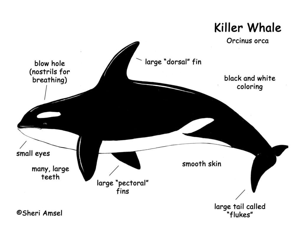 Killer Whales Characteristics Methods And Much