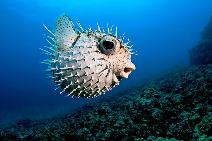 Puffer fish: Characteristics, habitat, reproduction and more....