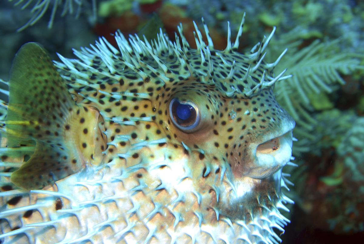 Puffer Fish Characteristics Habitat Reproduction And