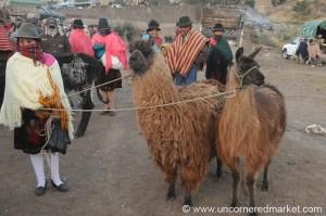 Llama for sale 125