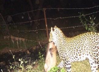 Nagpur news: Leopard spotted in Gayatri Nagar, behind IT Park