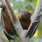 fruit-bat nipah