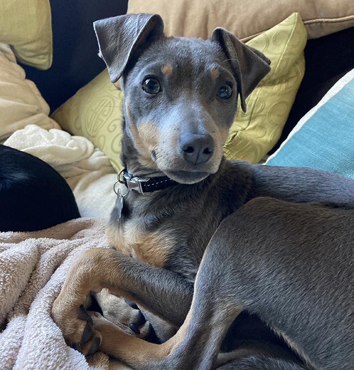 Small gray dog curled up on a couch