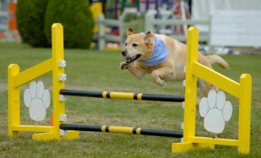 old dog agility.jpg