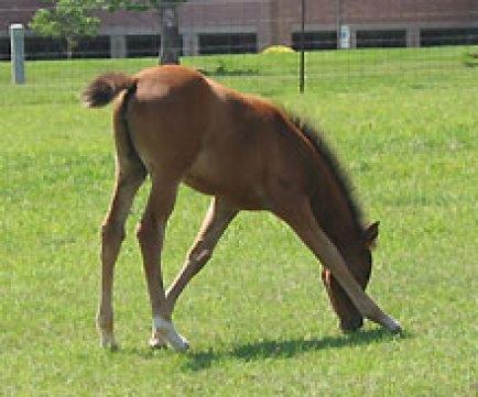 foal_grazing asymm 2
