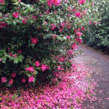 Camellia Hill 4