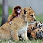 A baby monkey and a lion cub play at Guaipo Manchurian Tiger Park in Shenyang, China