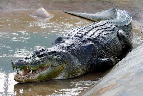 The largest crocodile ever recorded: Lolong