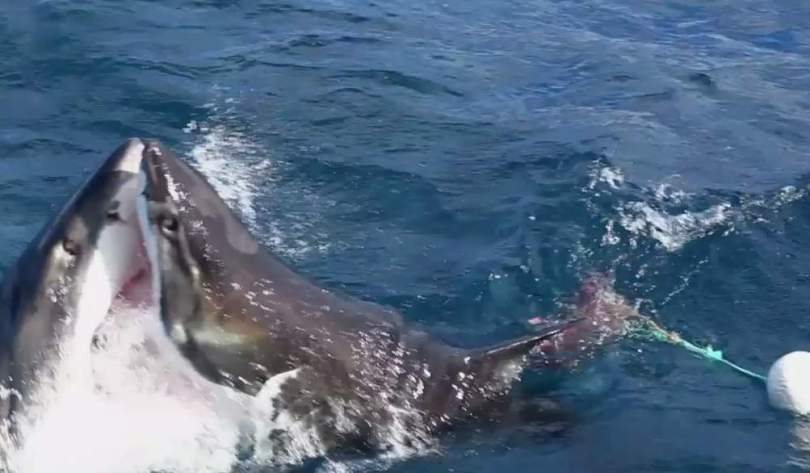 A battle battle between two great white sharks