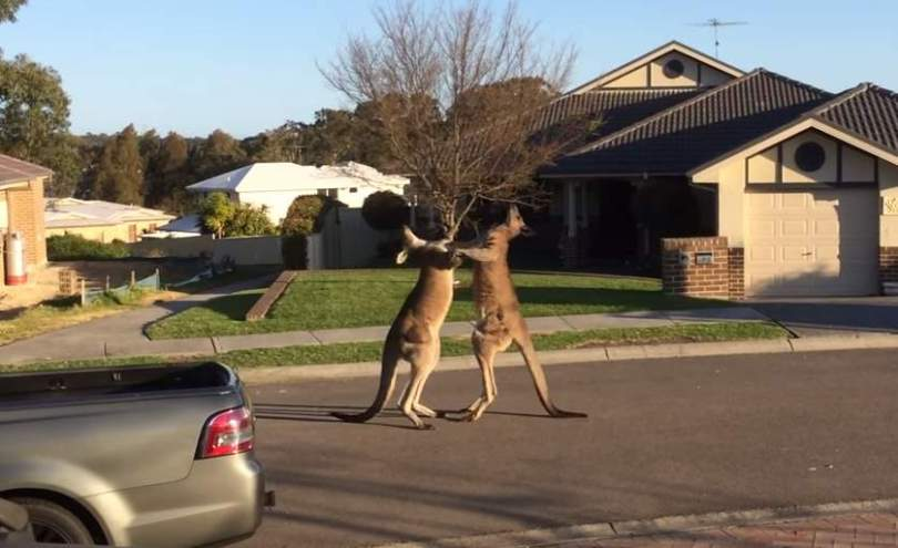 Two kangaroos boxing in Australia