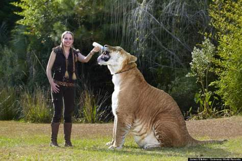 hercules the liger hercules largest cat guinness world records 2012