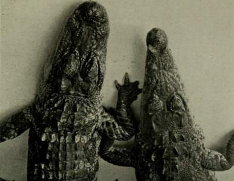 Alligator and Crocodile heads