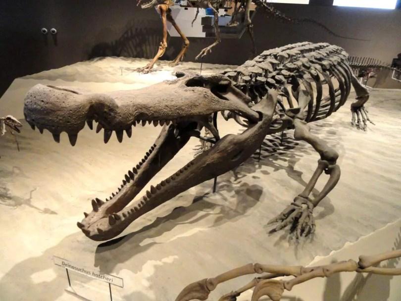 Deinosuchus hatcheri skeleton