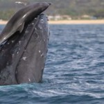 """Dolphins """"rode"""" the heads of whales in the coast of Hawaii"""