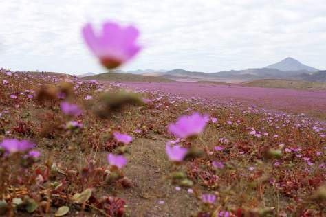Flowering Desert - Atacama (2015)