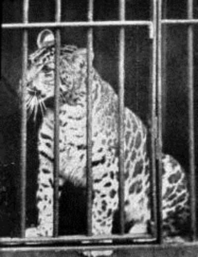 Hybrid big cats - Pumapard (1904)