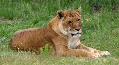 Hybrid big cats - Tigon