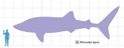 Whale shark scale