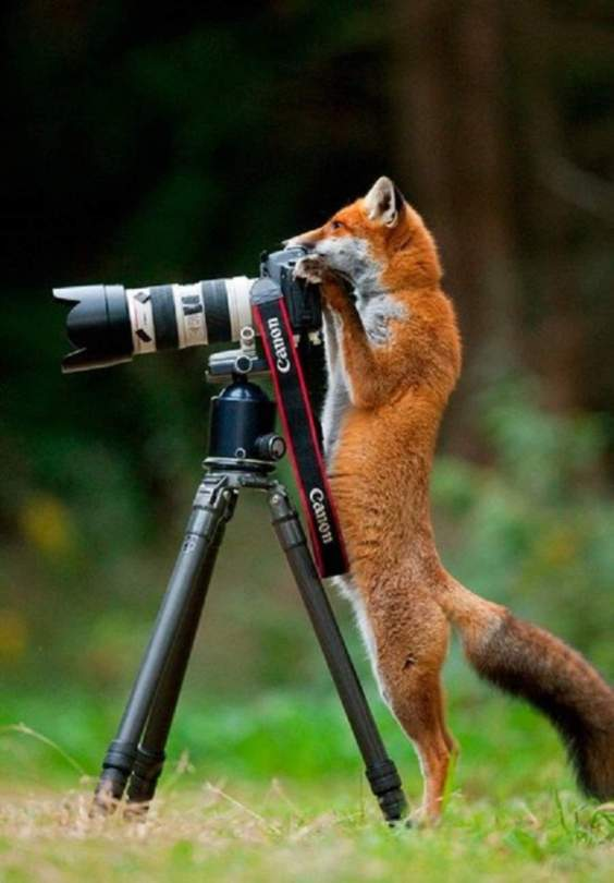 A fox and a camera