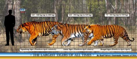 Largest prehistoric cats No. 2 - Ngangong tiger size comparison