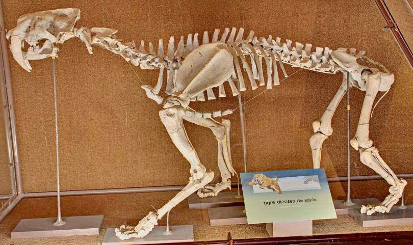 Smilodon populator skeleton