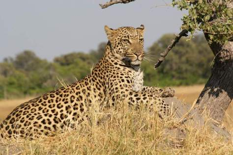 Most powerful bite forces in carnivore land mammals - African Leopard