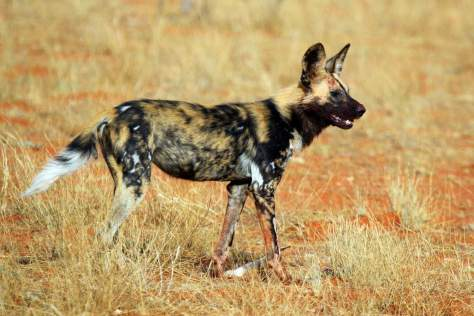 Most powerful bite forces in carnivore land mammals - African wild dog