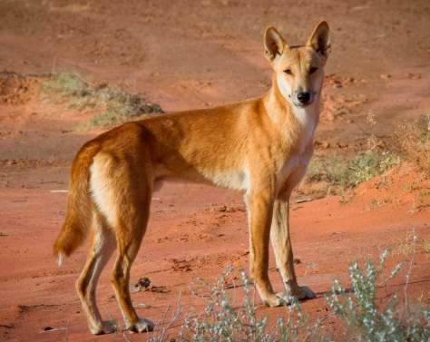 A Dingo in the Central Australia