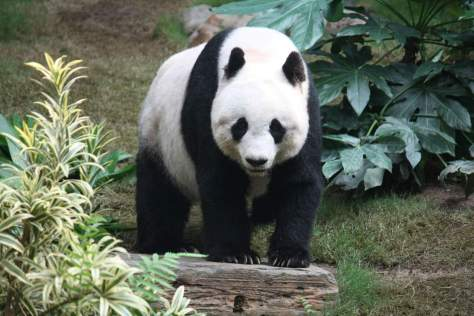 Most powerful bite forces in carnivore land mammals - Giant Panda