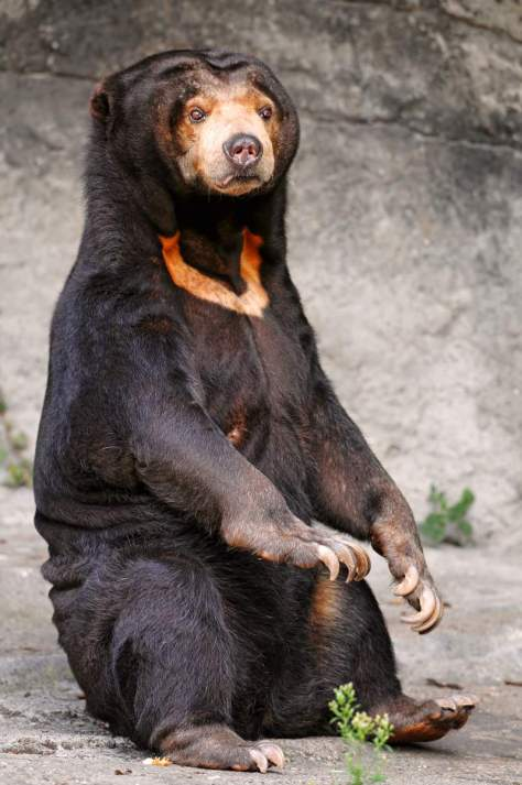 Most powerful bite forces in carnivore land mammals - Malayan Sun Bear