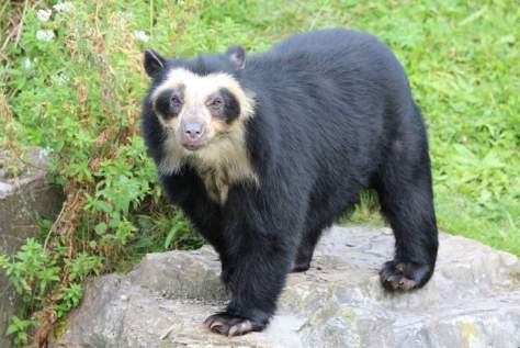 Most powerful bite forces in carnivore land mammals - Spectacled Bear