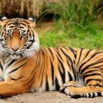 20 Amazing Tiger Facts