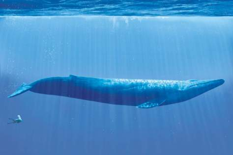 Blue whale and diver