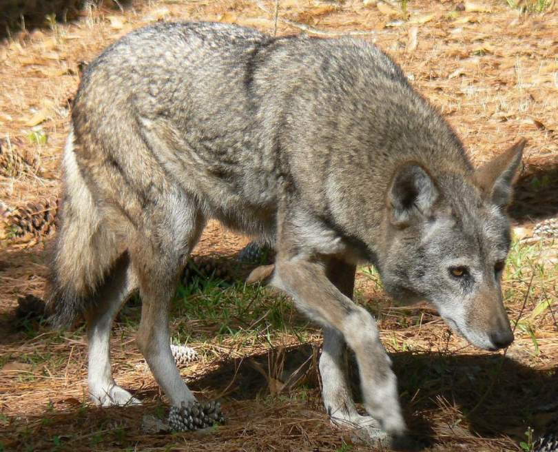Red Wolf (Canis lupus rufus)