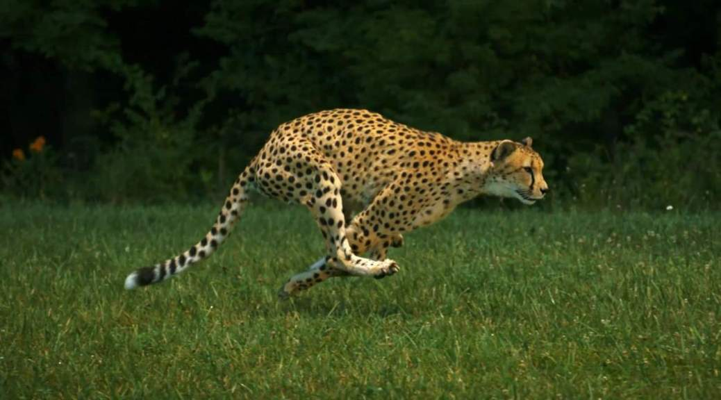 Sarah the cheetah, running
