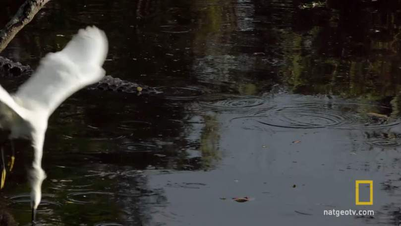 Gator Uses Bait Stick to Catch Egrets - 1