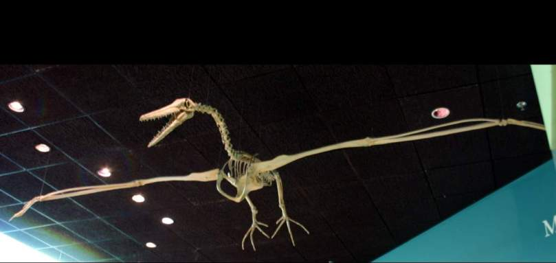 A replica of a Pelagornis skeleton at the National Museum of Natural History