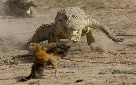 Crocodile pursuing chicken