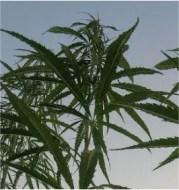 0mg-cbd-flower-plant