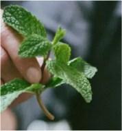 Mint-leaf-flavoured-cbd