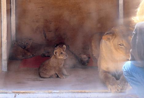 Lion Habitat Ranch 10