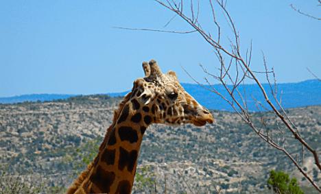 OOA Giraffe 1