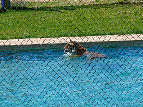 Tiger Splash 1