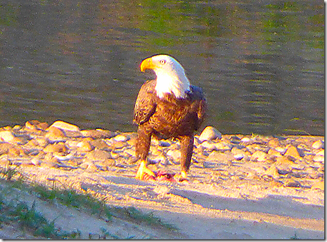 Colorado River Eagle 2