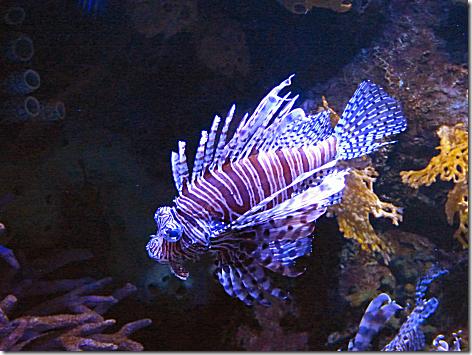 Aquarium - Lionfish