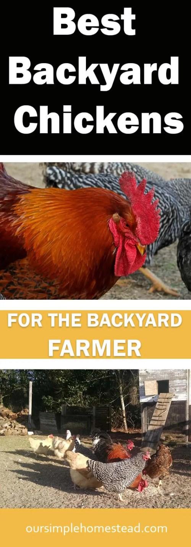 Best Backyard Chickens for the Backyard Farmer