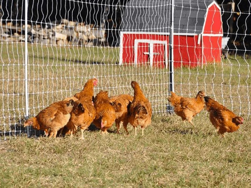 chicken electric fence