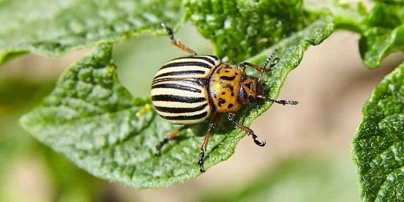 how to keep bugs out of a vegetable garden